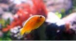 Biodiversité poisson clown à bande dorsale