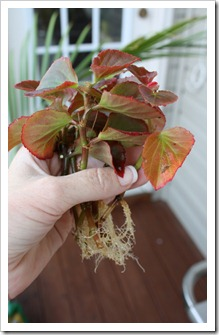 Begonia clippings (683x1024)