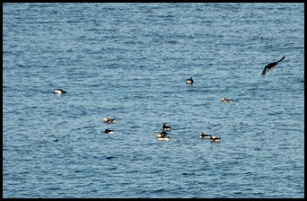 06c - Puffin Breeding Island - Puffins