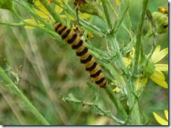 17 cinnabar moth caterpillar