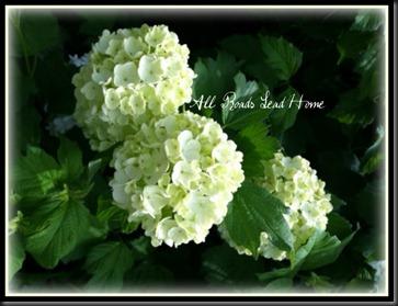 snowball bush2 ARLH