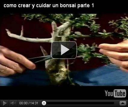 Como cultivar un bons i dise o y decoracion de jardines - Como cuidar un bonsai ...