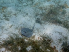 Sting Ray in the Kuna Yala.