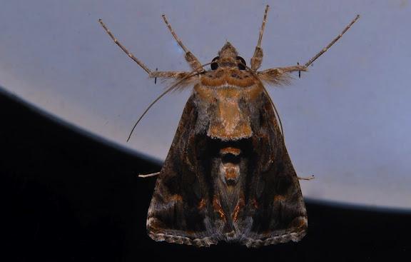 Noctuidae : Plusiinae : Chrysodeixis argentifera GUÉNÉE, 1852. Umina Beach (NSW, Australie), 27 septembre 2011. Photo : Barbara Kedzierski