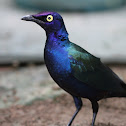 Red-shouldered Glossy-starling