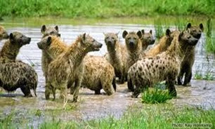 Amazing Pictures of Animals, Photo, Nature, Incredibel, Funny, Zoo, Hyena, Mammals, Alex (6)