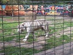 2006.09.01-040 tigre blanc
