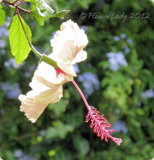 05-13-hibiscus-plumbago2