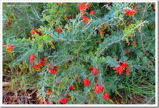 131124_UCD_Arboretum_AustralianCollection_86