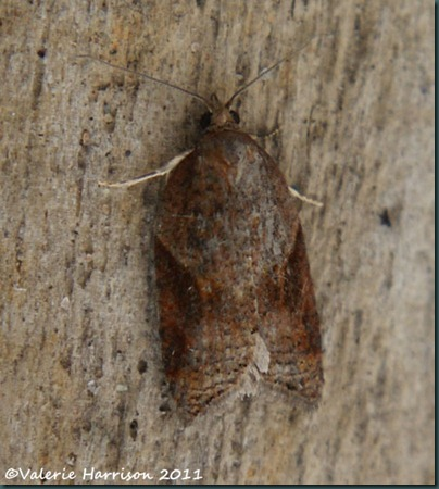 Acleris laterana top