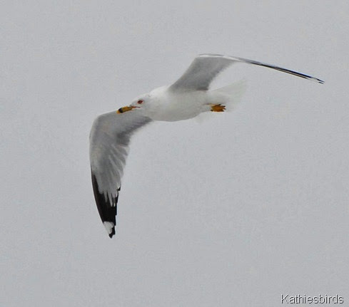 2. ghost gull-kab