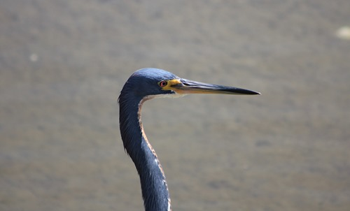 South Padre Great Blue Heron4