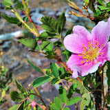Wild rose