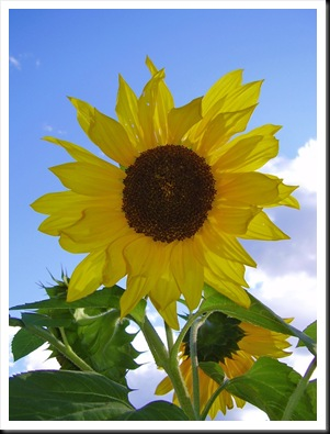 sunflower (7)