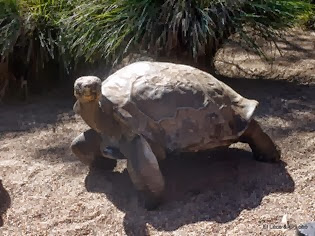 Galapagos turtle phone home