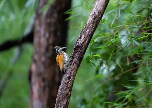 Amazing Pictures of Animals, Photo, Nature, Incredibel, Funny, Zoo, Greater Flameback, Chrysocolaptes guttacristatus, Bird,Alex (13)
