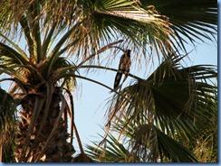 5934 Texas, South Padre Island - KOA Kampground - bird that woke me up