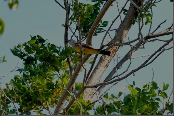 07-01-12 western kingbird 04