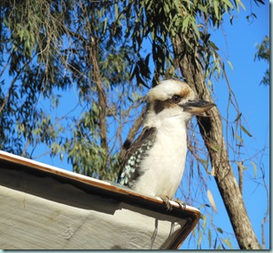 Dimboola Kooka on TLander