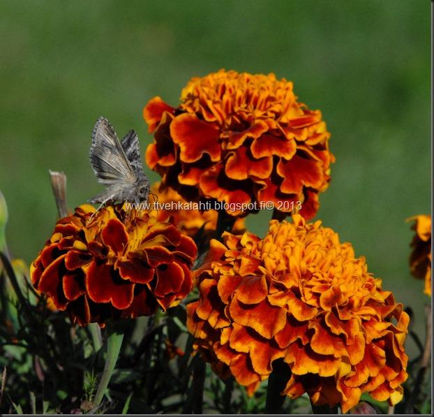 perhonen  sudenkorentoja 051