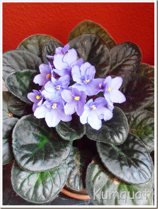 violeta africana 4