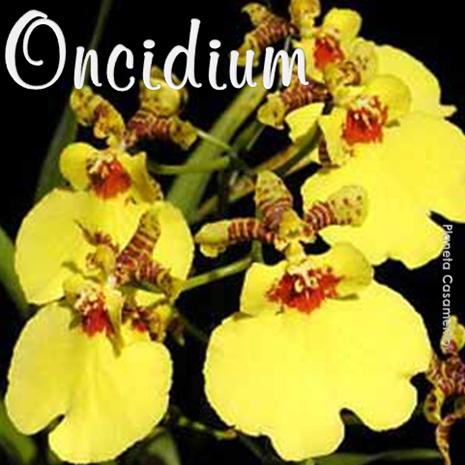 ONCIDIUM - PLANETA CASAMENTO