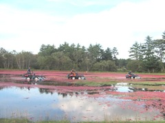 Cranberry Harvest Gerts bog 2011 3 machines 3