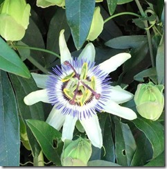 Passion flower vine 4-22-2013 10-05-32 AM 1623x1643