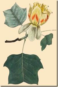 Liriodendron ou arbre à tulipes