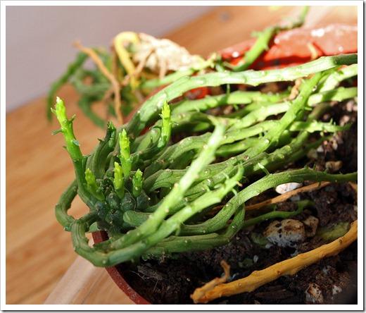 111218_Euphorbia-flanaganii_001