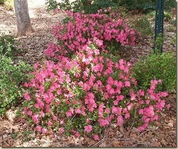Azalea Garden Nacogdoches, TX (3)