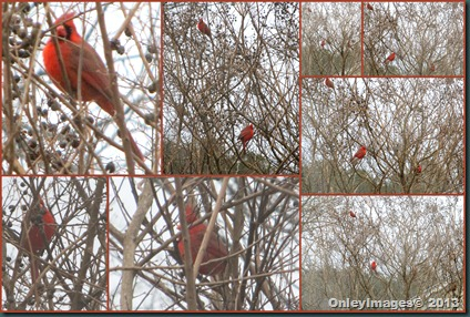male cardinals in tree
