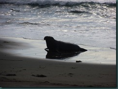 Elephant Seals 2012 013