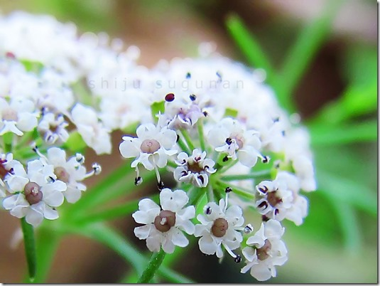 fso detail coriander-flowers-shiju