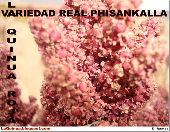 La_Quinua_Roja_Variedad_Real_Phisankalla-laquinua.blogspot.com