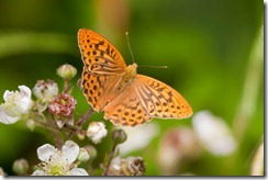 Silver-washed Fritillary-8D3E9075
