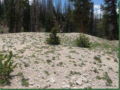 Bristle Cones at Cedar Breaks 103