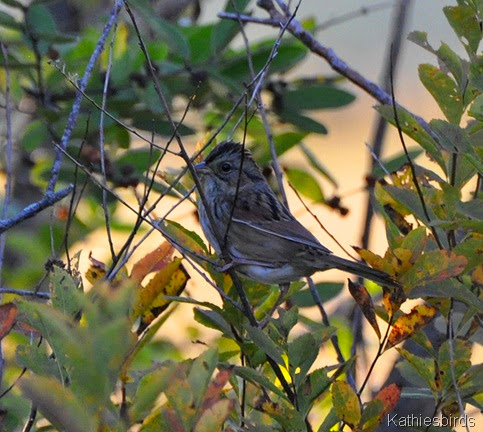 5. swamp sparrow-kab