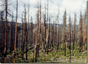 at yellowstone shortly after big fire