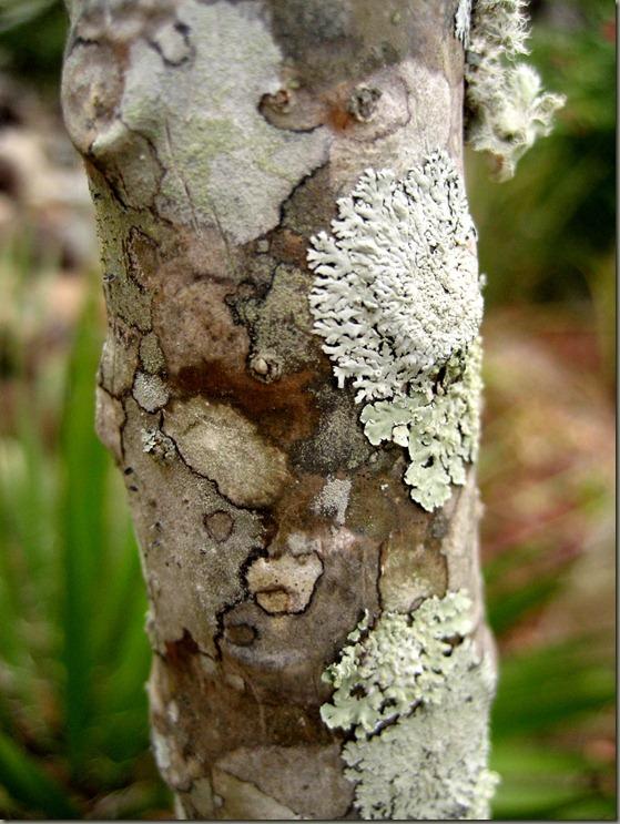 Lichens on Trunk