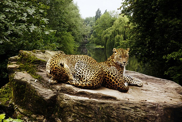 Two_Leopards800