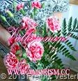 DSC09493.JPG Röda vita nejlikor blommor (1). Välkommen. Med amorism