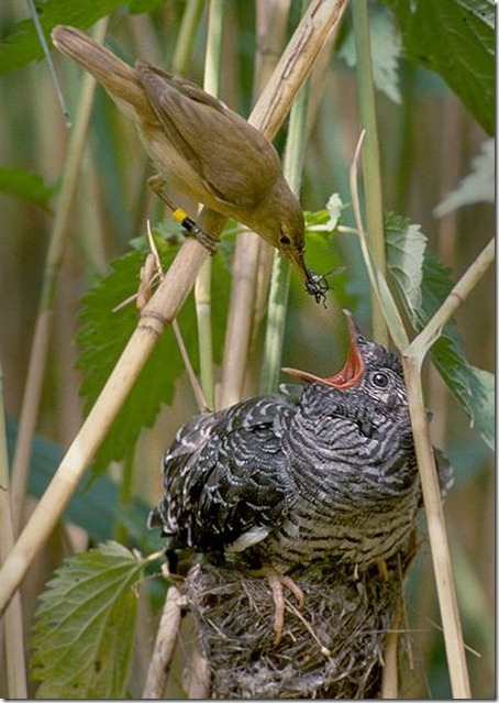 bonus-Reedwarblercuckoojpg