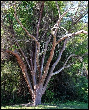 18b - Gumbo Limbo Tree