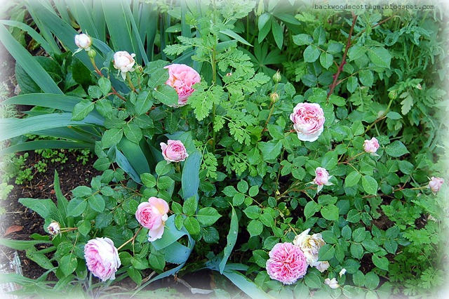 abraham darby english rose bush