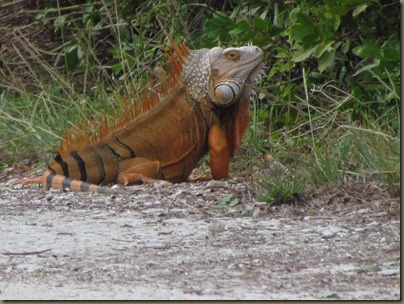 big iguana at Curry Hammock sp