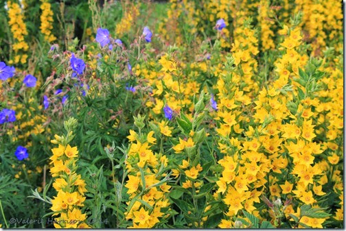 6 yellow-loosestrife-1