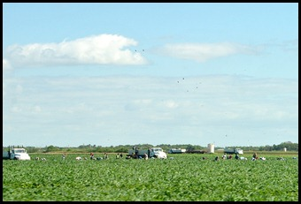 05 - Tomato Harvest