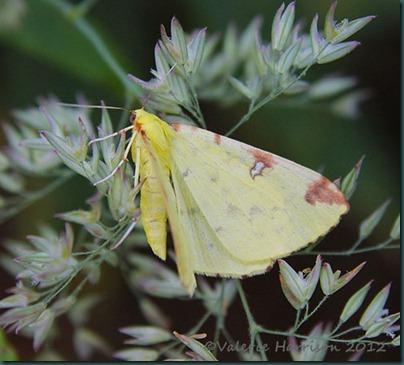 Brimstone-Moth-2