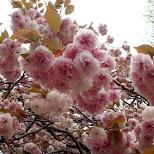 sakura blossoms in Tokyo, Tokyo, Japan